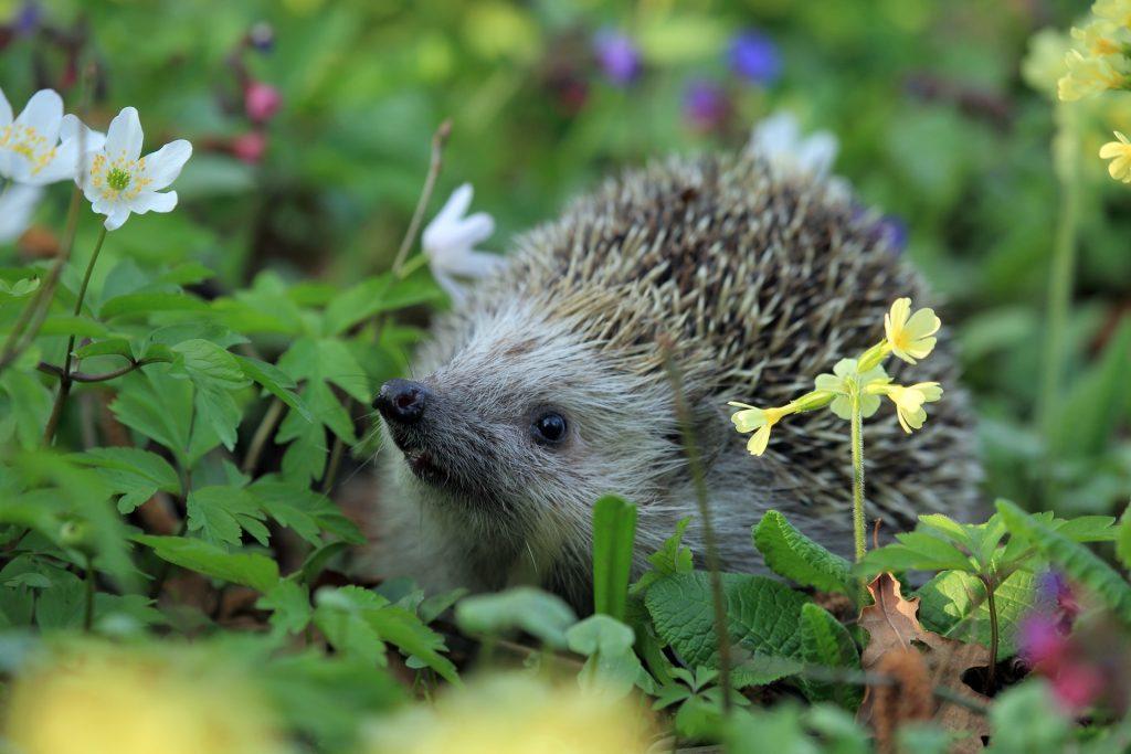 hedgehog garden spring