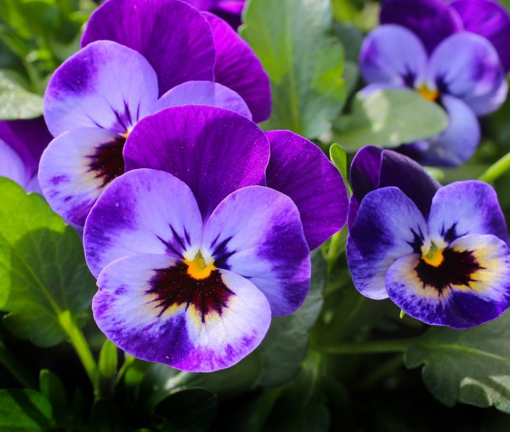 pansies summer garden tips