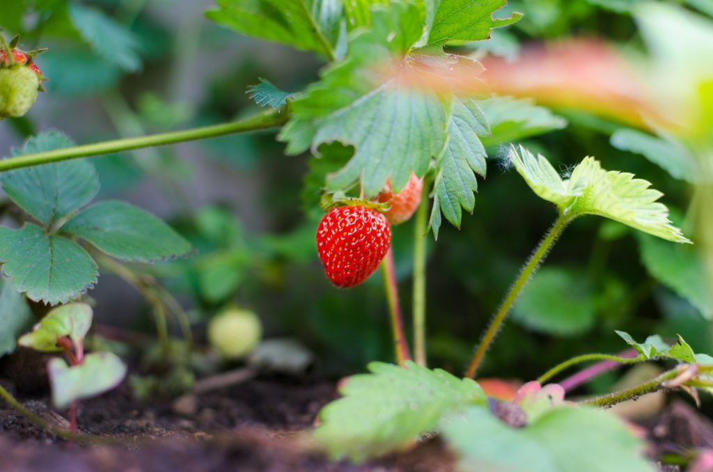 strawberries summer garden tips